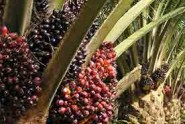 The-Specter-of-the-EU-Palm-Oil-Ban-