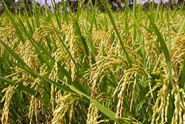 Myanmar-Rice-Export-Reaches-1.5-Million-Tons-in-Six-Months-